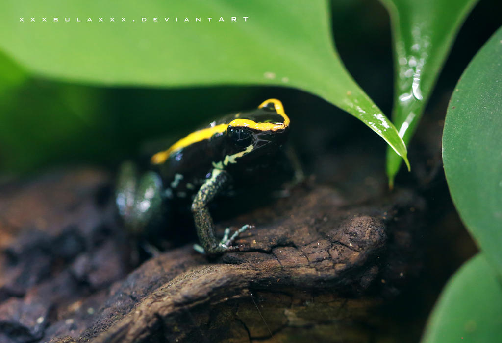 Poison Dart Frog by xxxsulaxxx