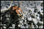 Mottled Lady Beetle