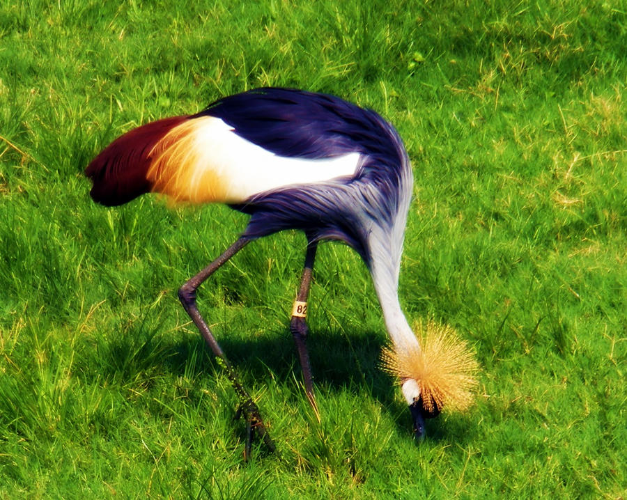Another shot of the Black Crowned Crane. by JoyHeartsYou