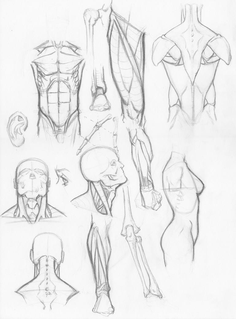 Sketches of human anatomy
