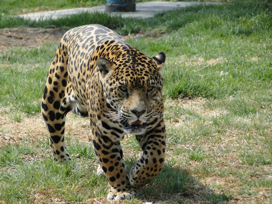 http://fc00.deviantart.net/fs71/i/2011/307/0/2/animal_stock__jaguar_001_by_raistock-d4f0qok.jpg