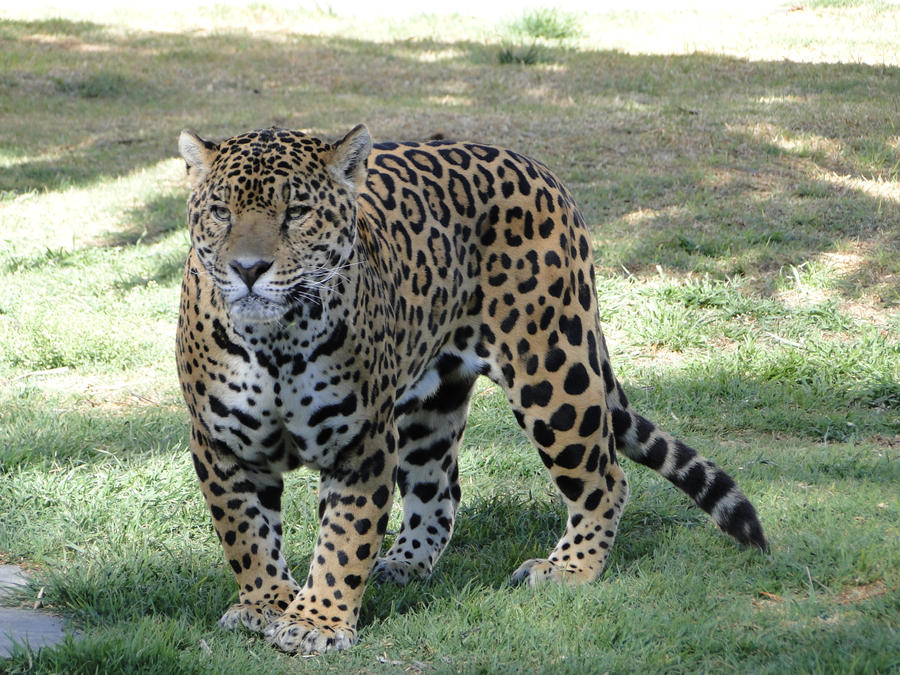 http://fc03.deviantart.net/fs71/i/2011/310/4/c/animal_stock__jaguar_002_by_raistock-d4fasyn.jpg