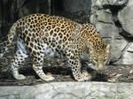 Animal stock- Leopard 001
