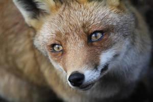 Fox. by MelcieLerua