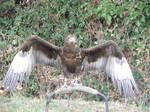 bird of prey STOCK 3