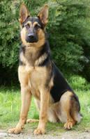 Golden german shepherd by blackmaster111