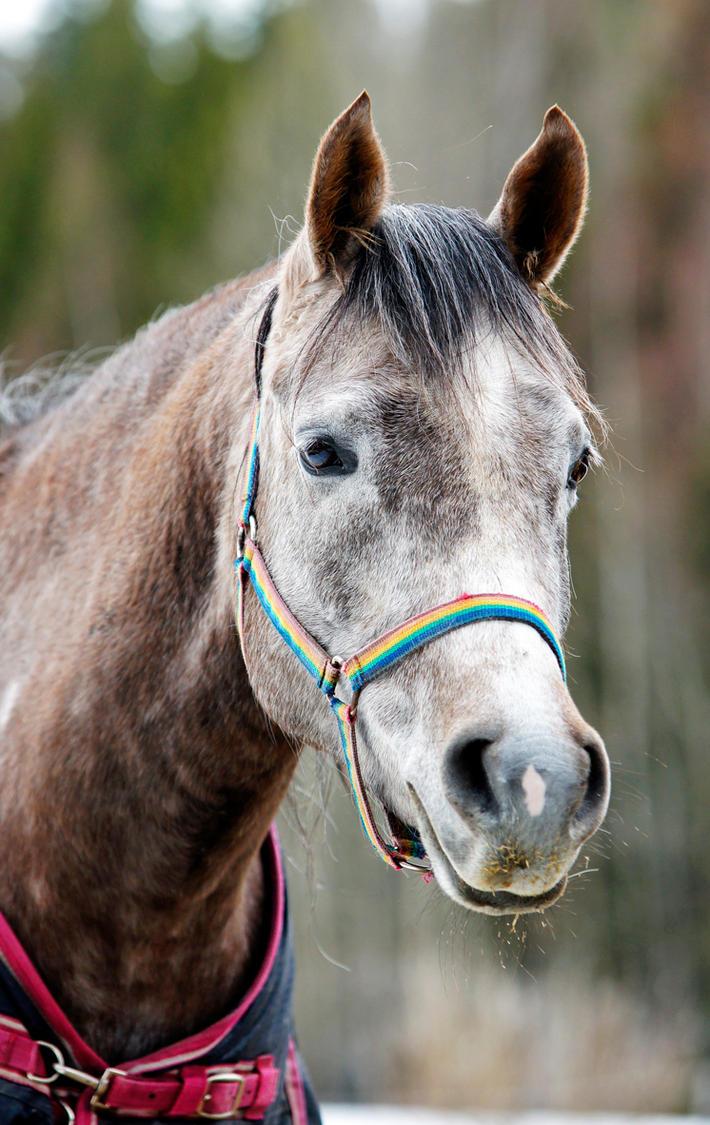 Arabian horse by blackmaster111