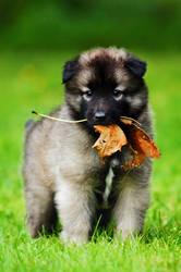 Tervueren puppy by blackmaster111