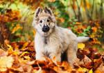 Silver tervueren puppy
