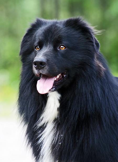 Gorgeous Australian Shepherd by blackmaster111