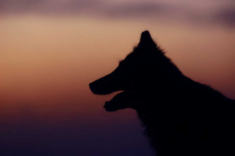 Groenendael silhouette by blackmaster111