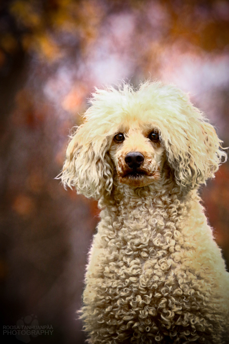 Autumn poodle by blackmaster111
