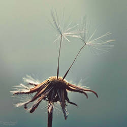 A wish on the wind