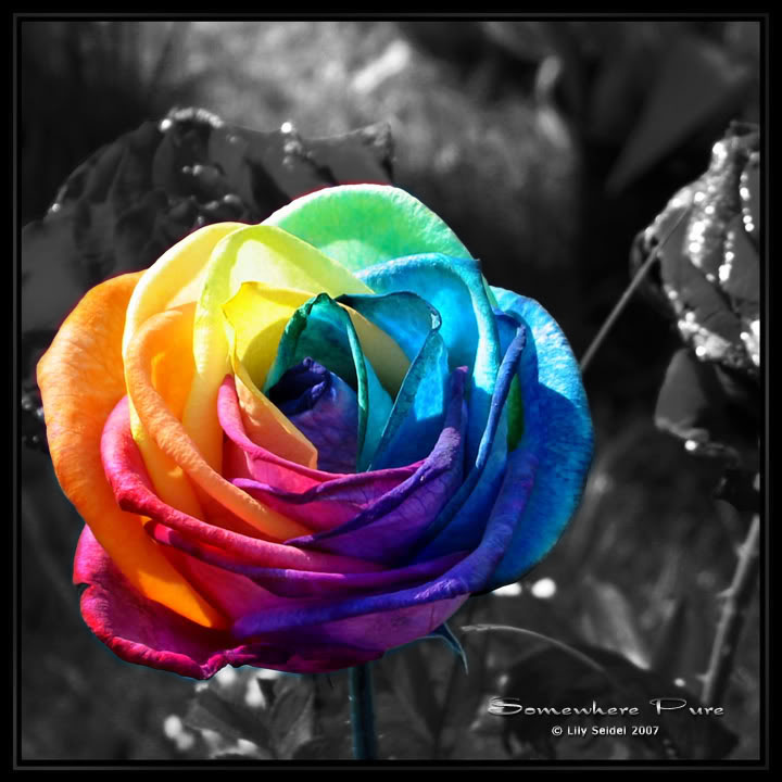 Rainbow rose by critious on deviantart for How much are rainbow roses