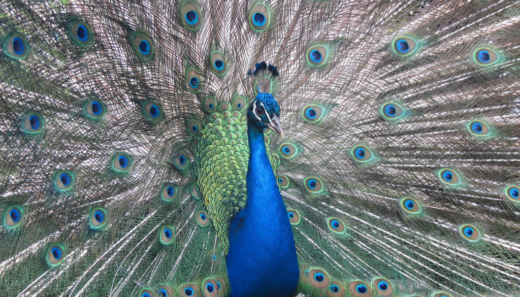 Peacock by 7Esther7