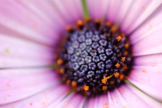 Magenta flower centre