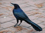 Male Great-Tailed Grackle II