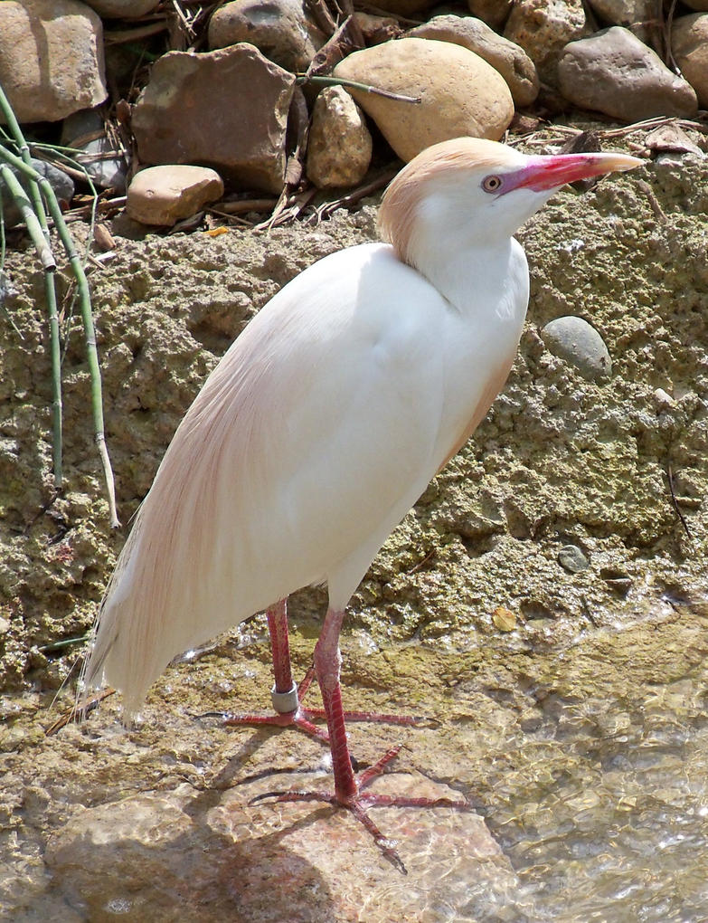 Breeding Plumage Cattle Egret by austringer
