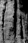Sequoia Wood - Black n White.
