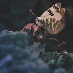 The Nightwatch-Butterfly by Mega-Shots