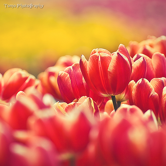 Tulip VI by WindyLife