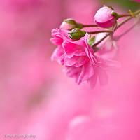 Rose in my dream II