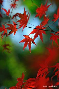 Japanese Maple Leaf
