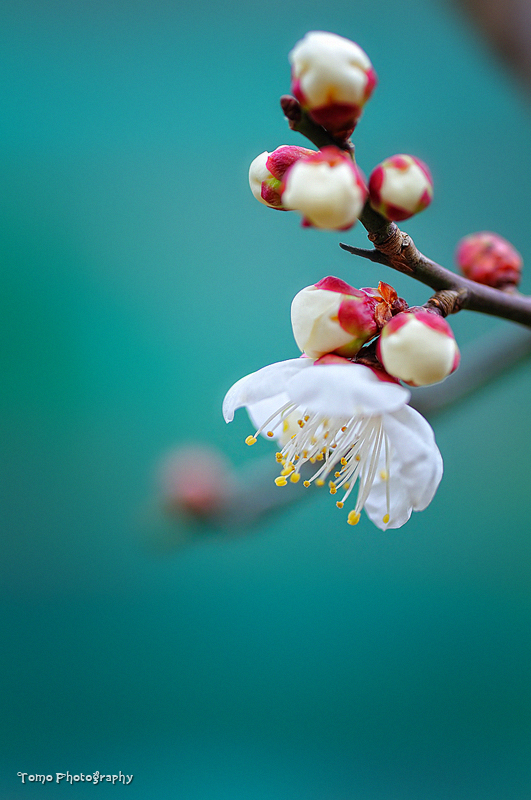 Japanese apricot III by WindyLife