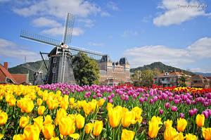 Tulip VIII by WindyLife