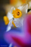 Narcissus by WindyLife