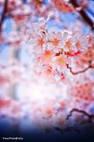 Sakura Illusion by WindyLife