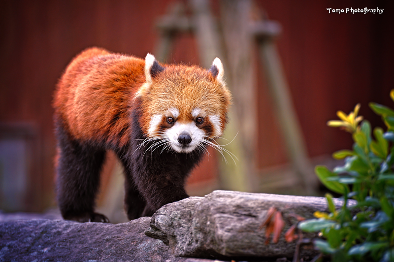 Red Panda by WindyLife