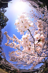 Peace -Sakura- by WindyLife