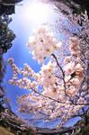 Peace -Sakura-
