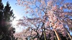 Cherry Blossom Wallpaper 2011