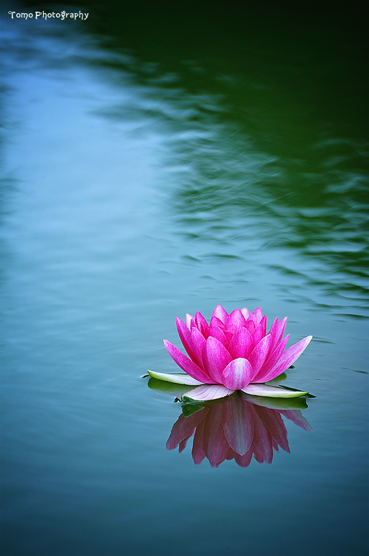 Water Lily II by WindyLife