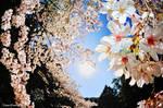 SAKURA by WindyLife