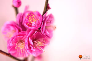 Japanese Red Apricot by WindyLife