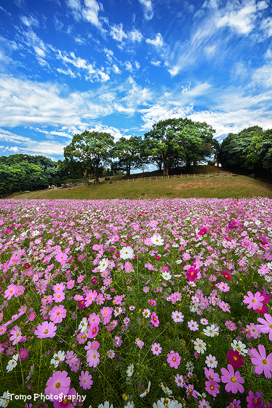 Cosmos Field by WindyLife