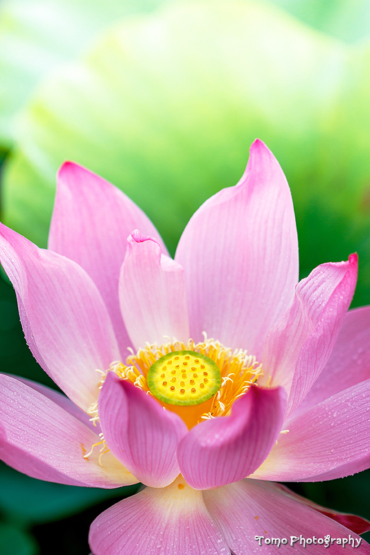 LOTUS by WindyLife