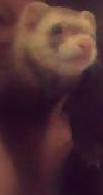 My Ferret by nana825763
