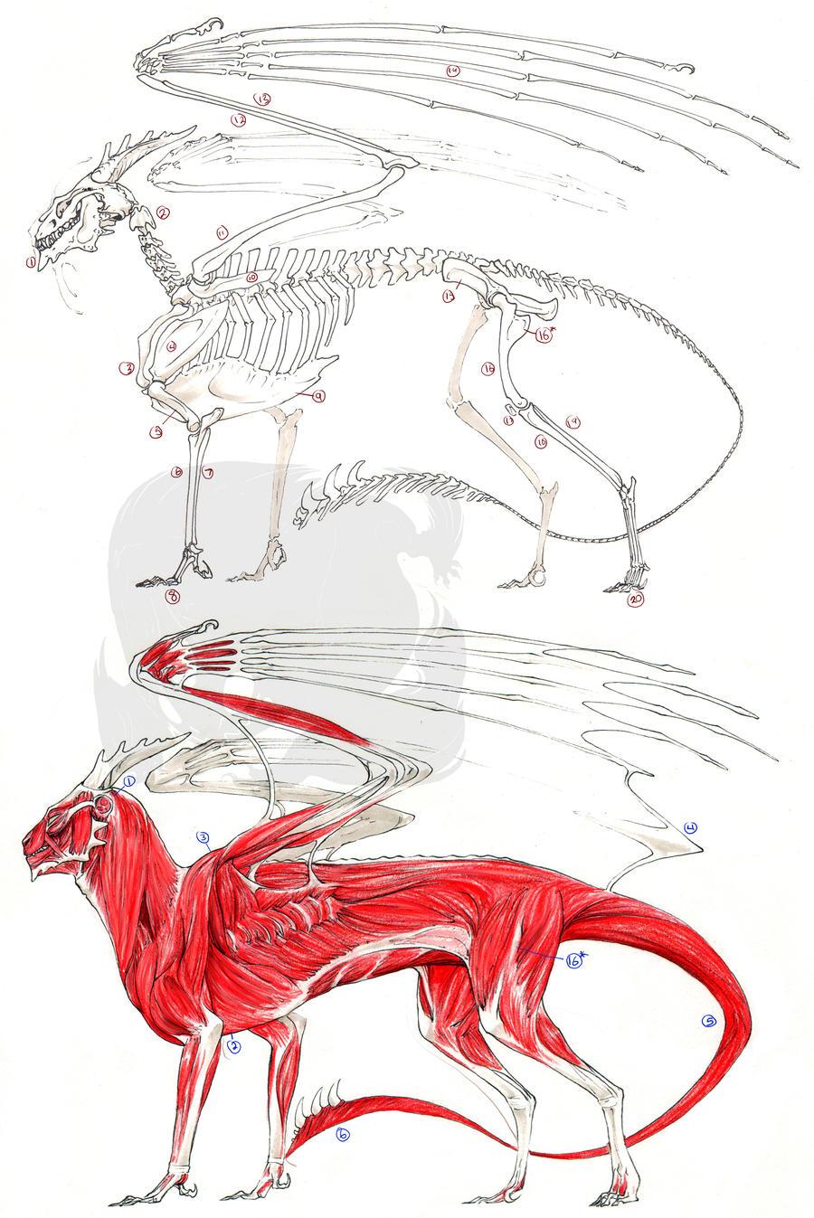 European Dragon Anatomy by FrancesLane on DeviantArt