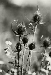 wilde Distel by MINA-Production