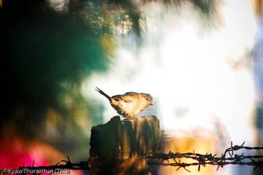 sparrow by ThaKhinGyi