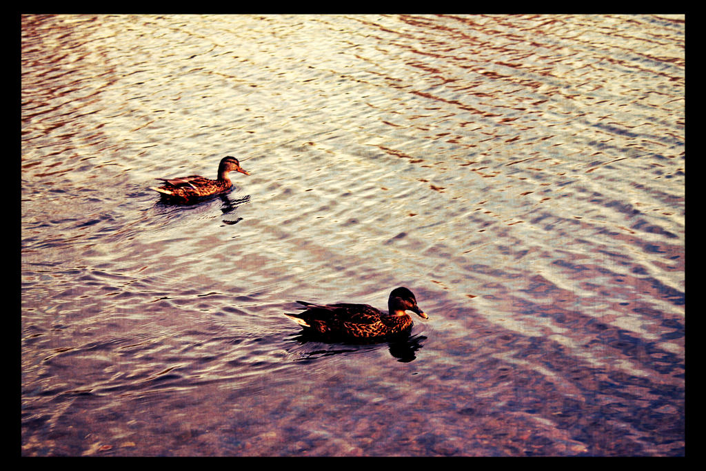 ducks by weryvall