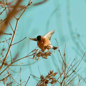 bullfinch by weryvall