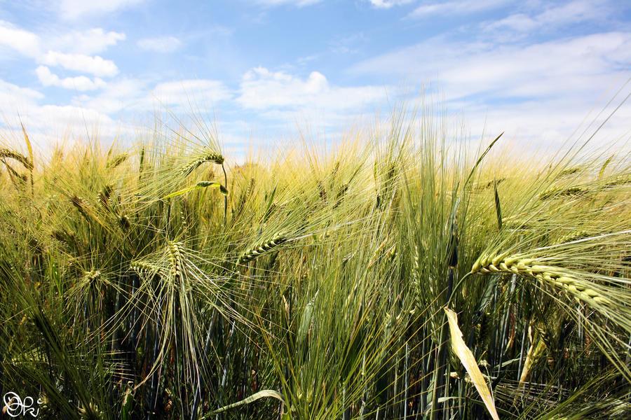Barley Field by poeter87
