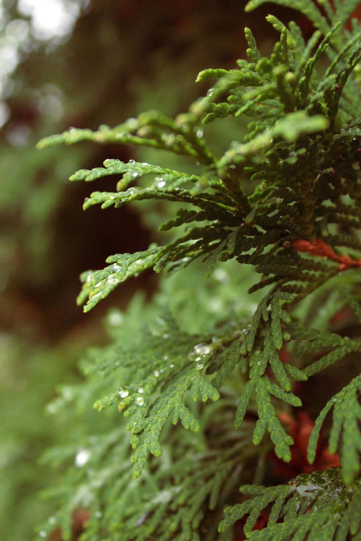 evergreen by fermented-elegance
