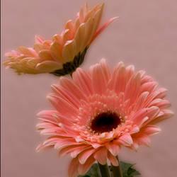 Pink Beauties by PlumCrazee