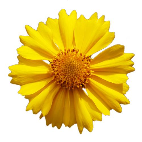 Yellow Daisy Png Yellow Flower PNG by P...